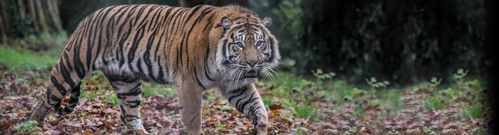 Tiger at Paignton Zoo